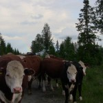 Kor med kvällsregnbåge