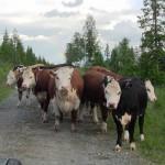 Kor med regnbåge i bakgrunden